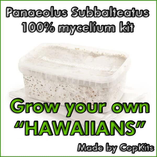 Panaeolus Subbalteatus Copelandia cyanescens or Hawaiian mushroom