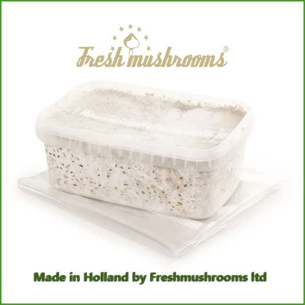 Mazatapec 1200ml Grow Kit Freshmushrooms