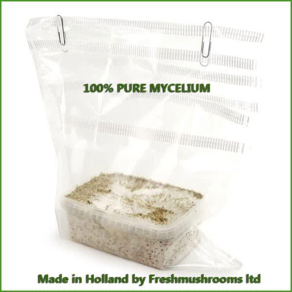 B+ cubensis pure mycelium growkit