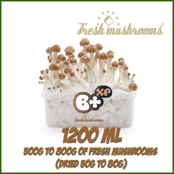 B+ 1200ml grow kit freshmushrooms mycelium cubensis